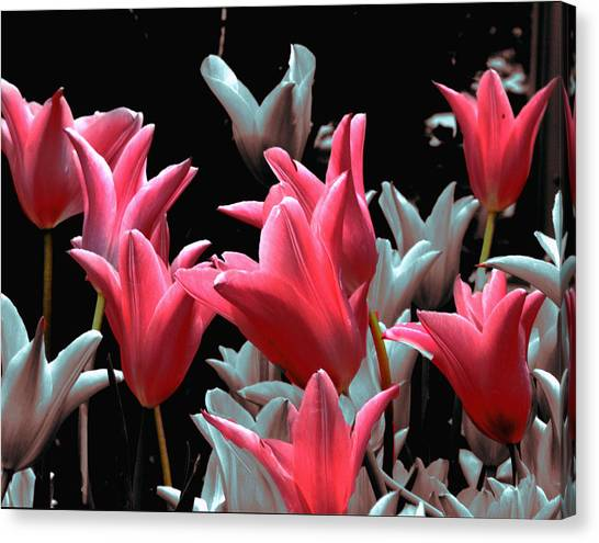 Pink N Silver Tulips Canvas Print by Irma BACKELANT GALLERIES