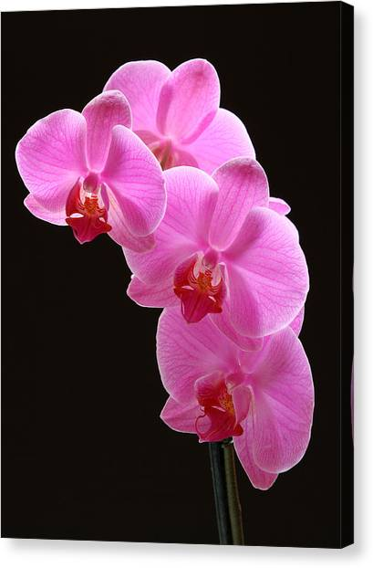 Pink Orchids Canvas Print by Juergen Roth