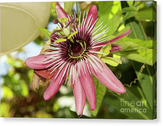 Pink Passiflora Canvas Print