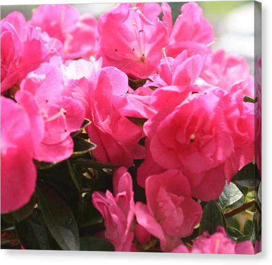Pink Passion Canvas Print by Amy Holmes