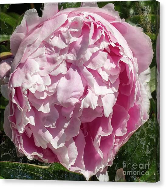 Pink Peony II Canvas Print
