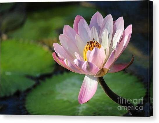 St. Lucie County Canvas Print - Pink Petals by Liesl Walsh