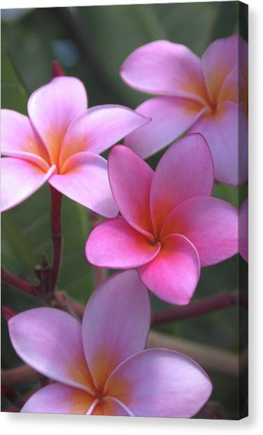 North Shore Canvas Print - Pink Plumeria by Brian Harig