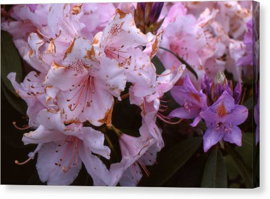 Pink Rhododendrums  Canvas Print by Lyle Crump