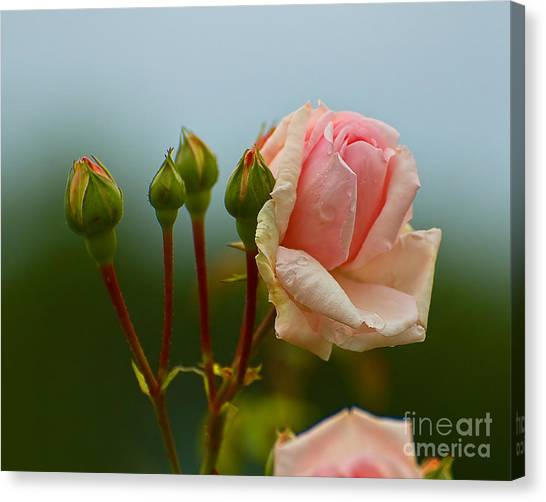 Pink Rose 2 Canvas Print