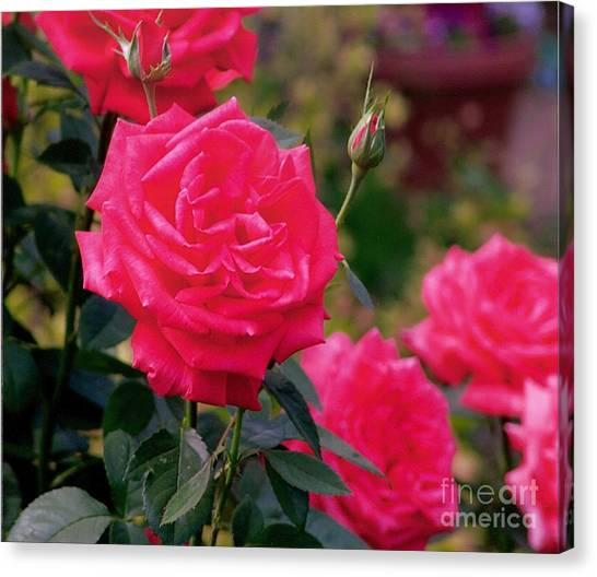 Pink Rose And Bud Canvas Print by Rod Ismay