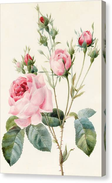 Rose In Bloom Canvas Print - Pink Rose And Buds by Louise D'Orleans