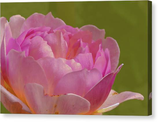 Canvas Print featuring the photograph Pink Rose #d3 by Leif Sohlman