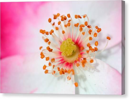 Pink Rose Canvas Print by Svetlana Ledneva-Schukina