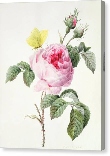 Rose In Bloom Canvas Print - Pink Rose With Buds And A Brimstone Butterfly by Louise DOrleans