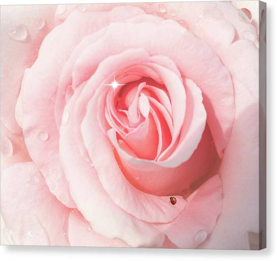 Pink Rose With Rain Drops Canvas Print