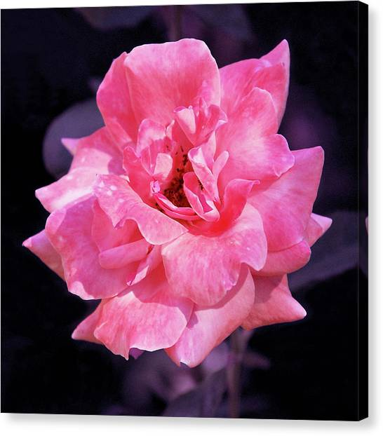 Pink Rose With Violet Canvas Print