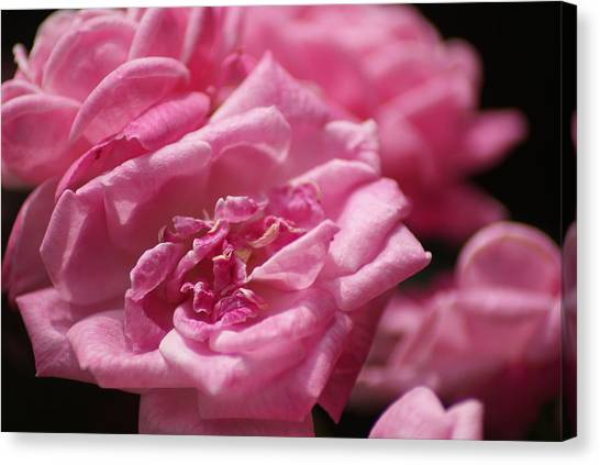 Pink Roses Canvas Print by Heather Green