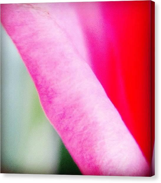 Roses Canvas Print - Pink Roses by Heidi Hermes