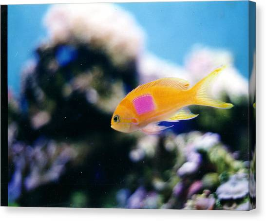 Pink Square Anthias Part II Canvas Print by Steve  Heit