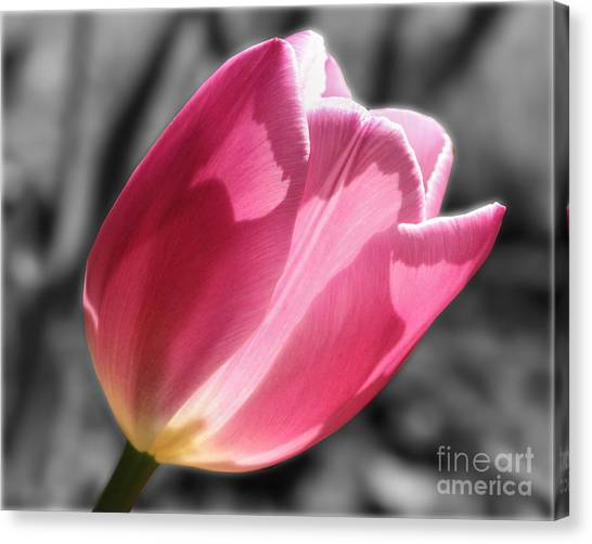 Pink Tulip On Black And White Canvas Print