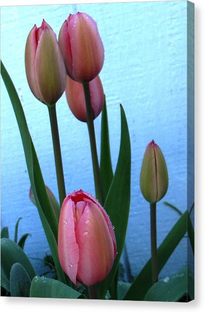 Pink Tulips 2012 Canvas Print