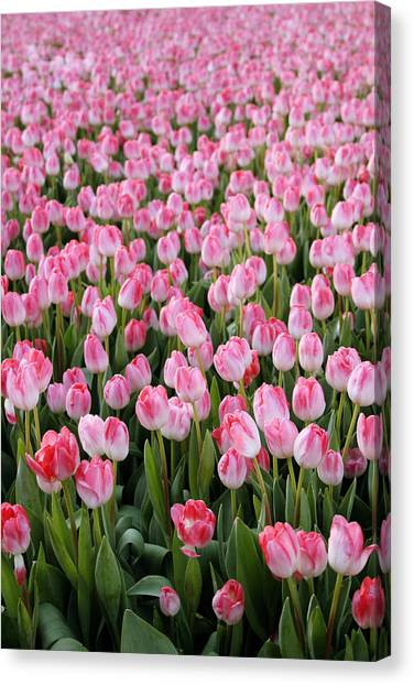 Tulips Canvas Print - Pink Tulips- Photograph by Linda Woods