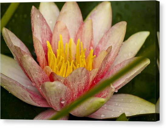 J Paul Getty Canvas Print - Pink Water Lilly by Teresa Mucha