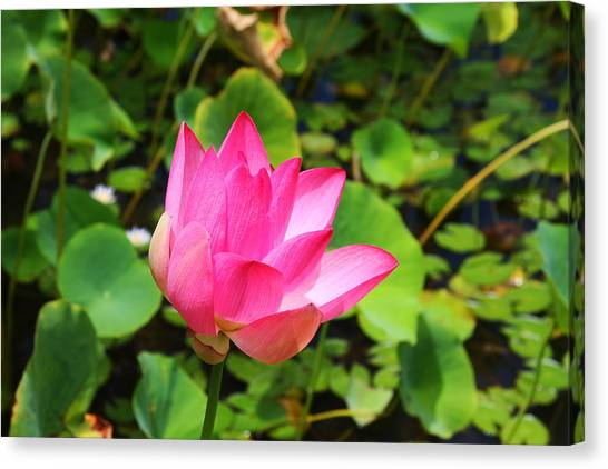 Pink Water Lotus Canvas Print by Michael Palmer