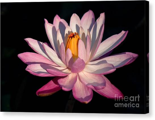 St. Lucie County Canvas Print - Pink Waterlily by Liesl Walsh