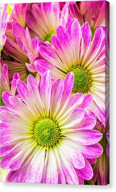 Pom-pom Canvas Print - Pink White Poms by Garry Gay