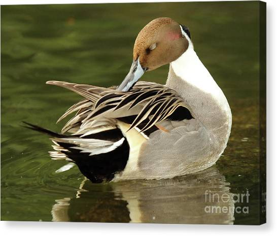 Pintail Drake Grooming Canvas Print