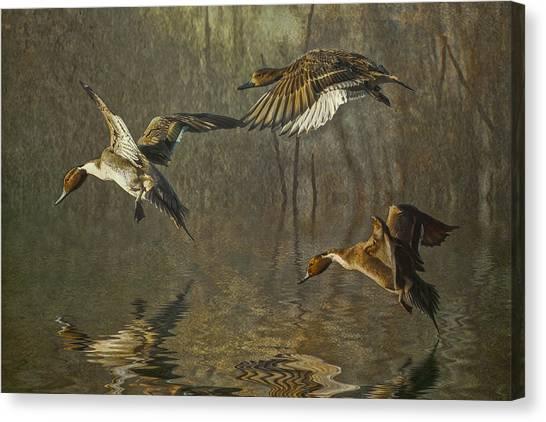 Pintail Ducks Canvas Print