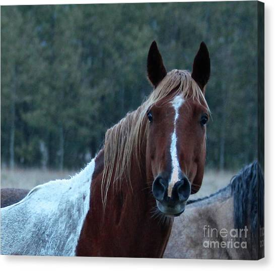 Canvas Print featuring the photograph Pinto by Ann E Robson