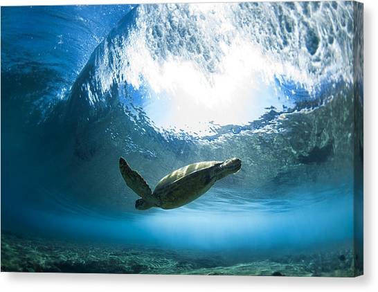 Turtles Canvas Print - Pipe Turtle Glide by Sean Davey