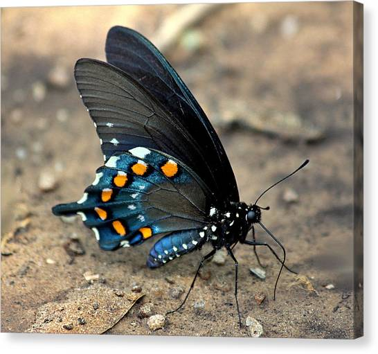 Pipevine Swallowtail Close-up Canvas Print