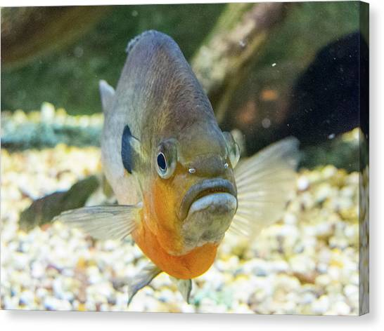 Piranha Behind Glass Canvas Print