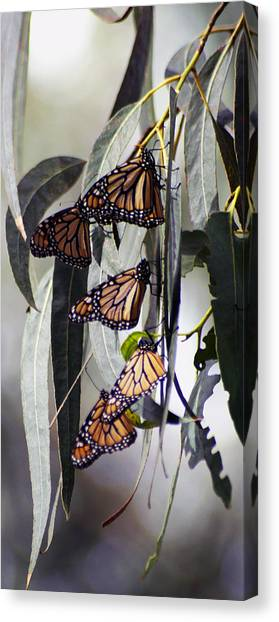 Pismo Butterflies Canvas Print