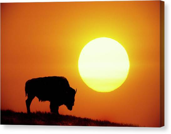 Yellowstone National Park Canvas Print - Plains Bison (bison Bison), Digital Composite by Altrendo Nature