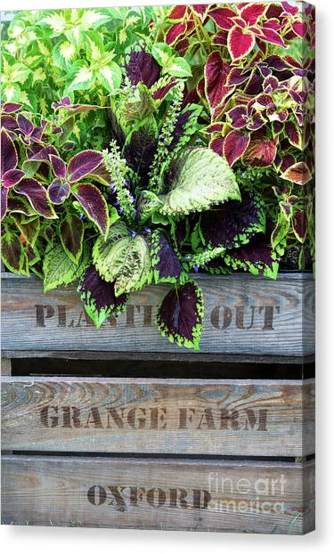 Coleus Canvas Print - Planting Out by Tim Gainey