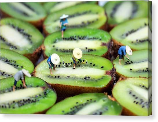 Planting Rice On Kiwifruit Canvas Print
