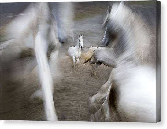 White Horse Canvas Print - Play Ground by Milan Malovrh
