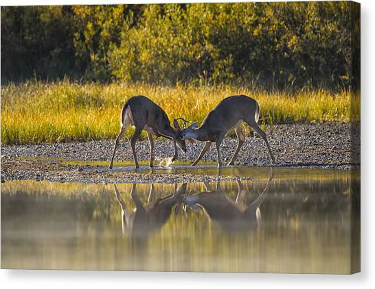 White-tailed Deer Canvas Print - Playful Young Bucks by Mark Kiver