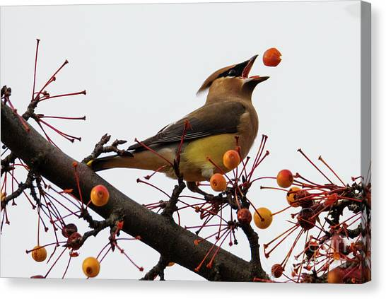 Cedar Waxwing Canvas Print - Playing Catch by Mike Dawson