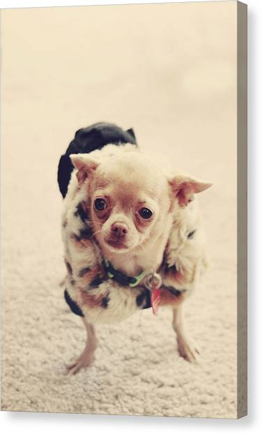 Chihuahuas Canvas Print - Please Meet Zoe by Laurie Search