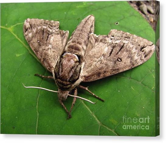 Plebeian Sphinx Moth Canvas Print