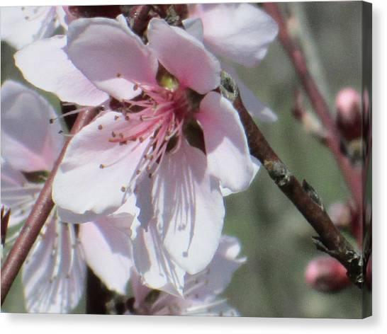 Plum Bloom Canvas Print by Rosalie Klidies