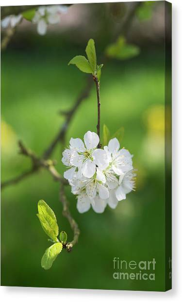 Fruit Trees Canvas Print - Plum Blossom by Tim Gainey