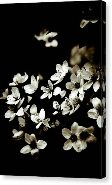 Plum Blossoms Canvas Print by Frank Tschakert