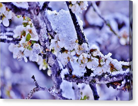 Plum Blossoms In Snow Canvas Print