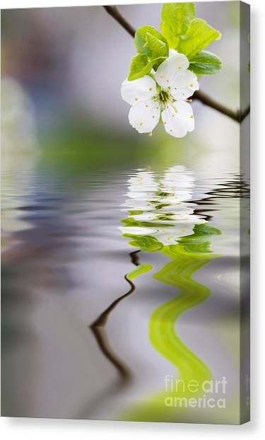 Plum Tree Blooming Canvas Print
