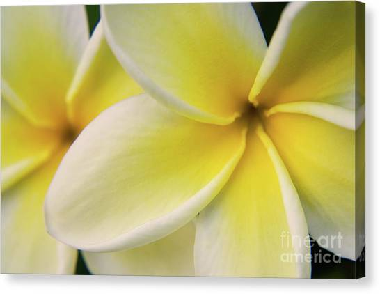 Plumeria Flowers Canvas Print by Julia Hiebaum