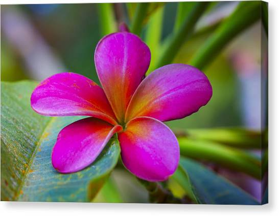 Plumeria On Leaf Canvas Print