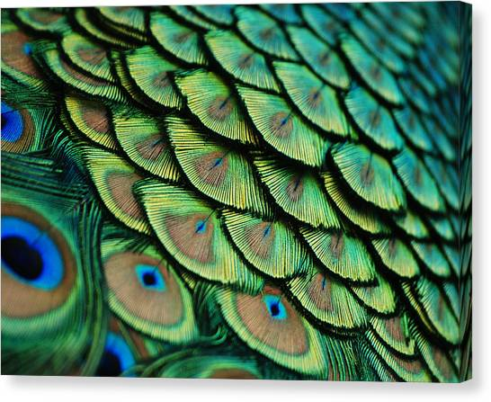 Plumes Canvas Print