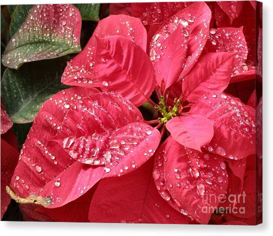 Poinsettia Christmas Dew Canvas Print by Kathy Daxon